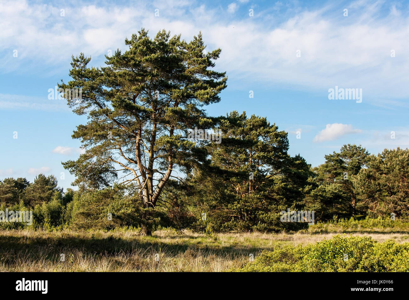 pines with partly weird principal forms on moor surface with gagelstrauch growth, kiefern mit teils bizarren stammformen - Stock Image