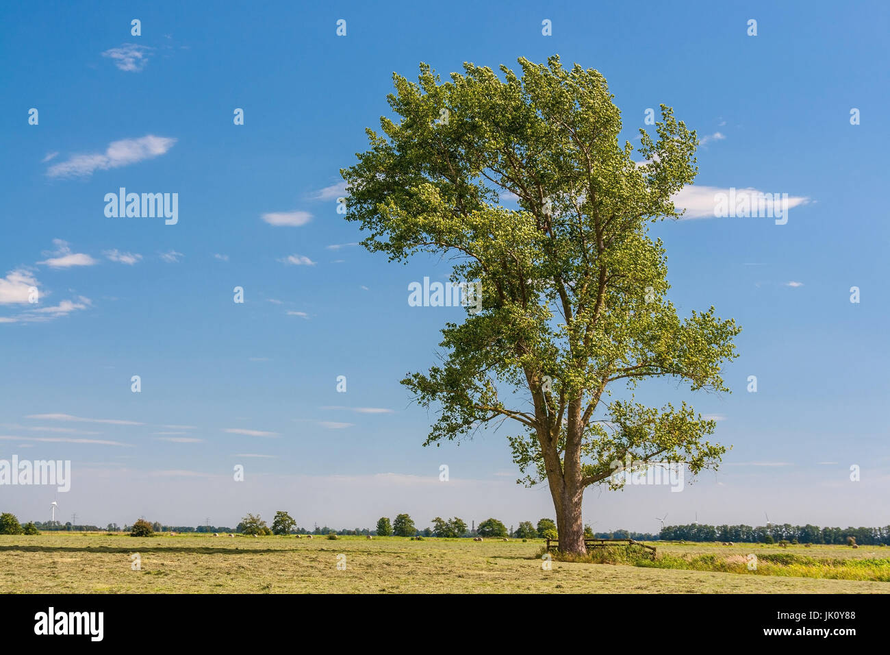 empty grey poplar of a crossroad from aspen and silberpappel-pointed in the midst of and pastureland, freistehende - Stock Image