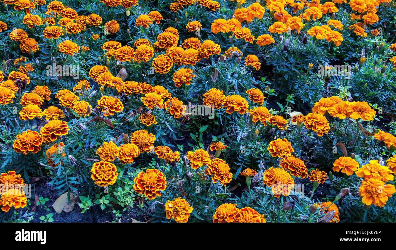patch covers with two-tone French marigolds, beet bedeckt mit zweifarbigen studentenblumen - Stock Image