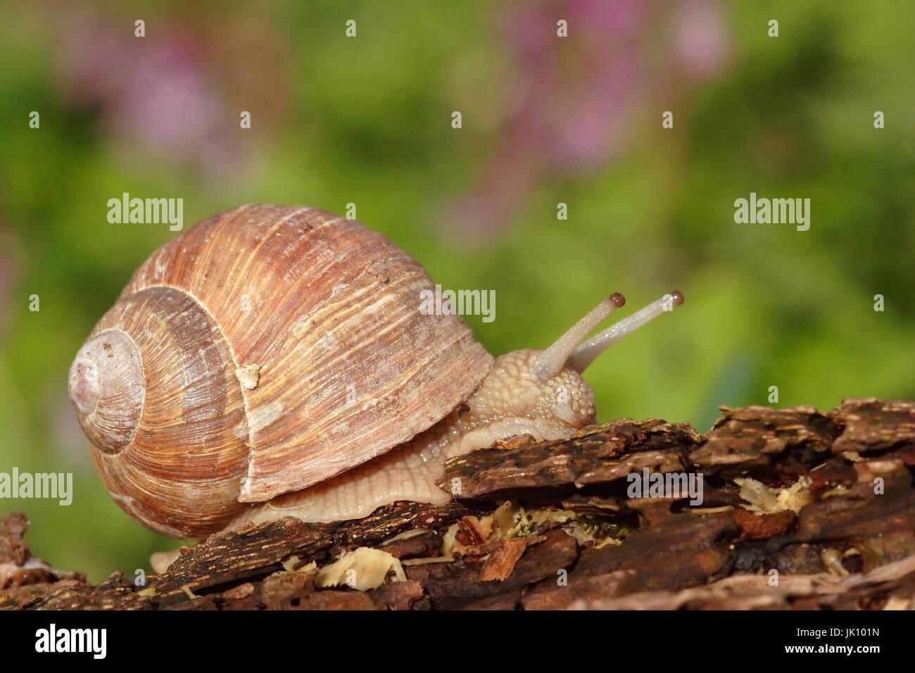 Edible snail on the Lower Rhine, Weinbergschnecke am Niederrhein - Stock Image