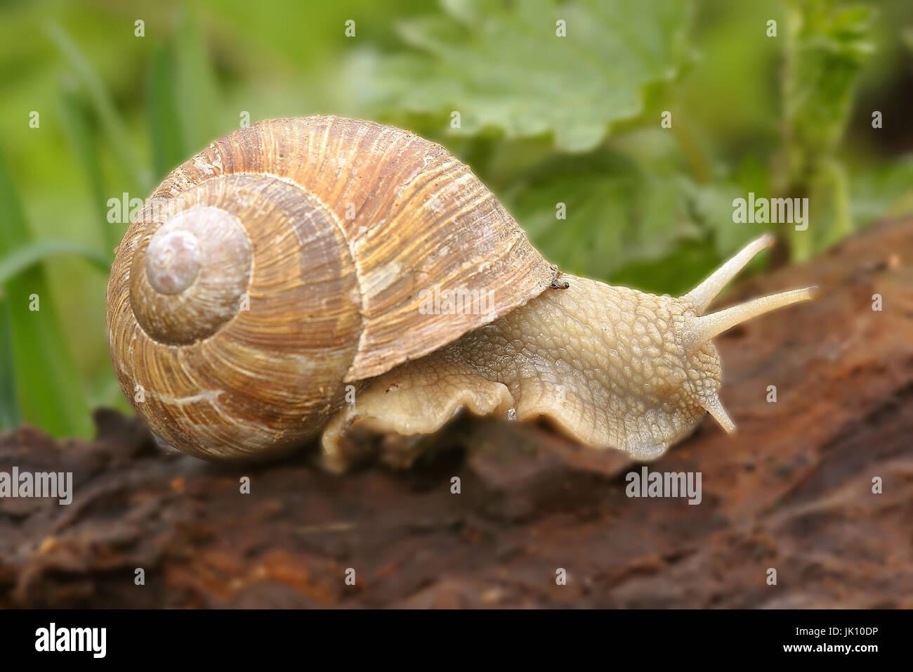 Edible snail i. Rhine meadow on the Lower Rhine, Weinbergschnecke i. Rheinaue am Niederrhein Stock Photo