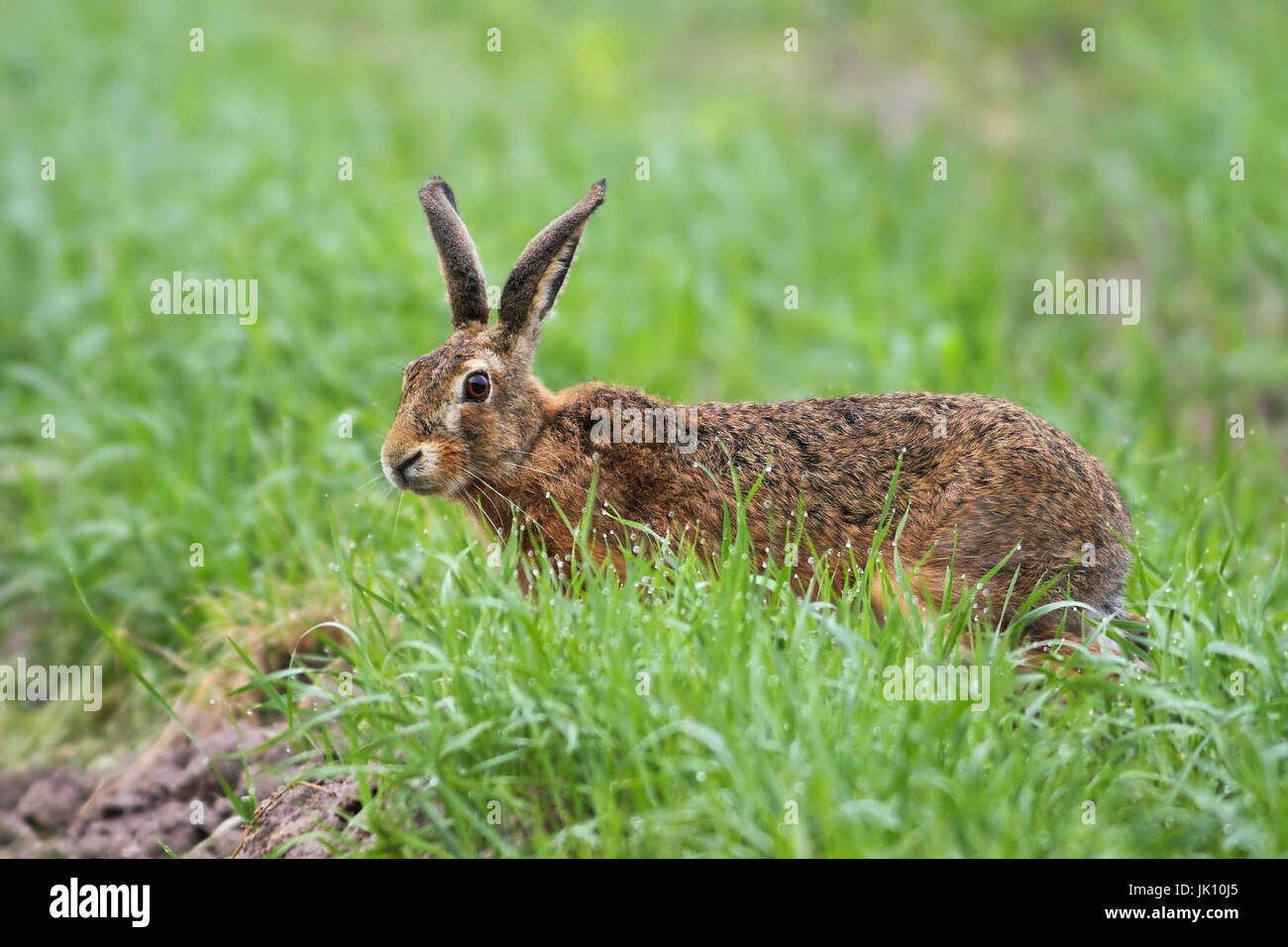 Hare in the field with the feed search, Hase im Feld bei der Futtersuche - Stock Image