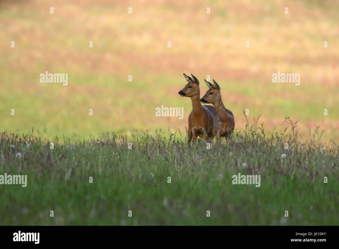 Roe deer on meadow in the early morning, Reh auf Wiese am frühen Morgen - Stock Image