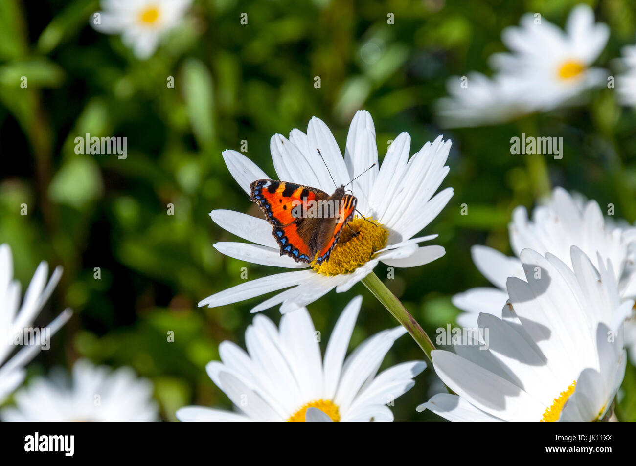 A small tortoiseshell butterfly, family Nymphalidae, Scientific name Aglais urticae alights on a ginat daisy flower - Stock Image