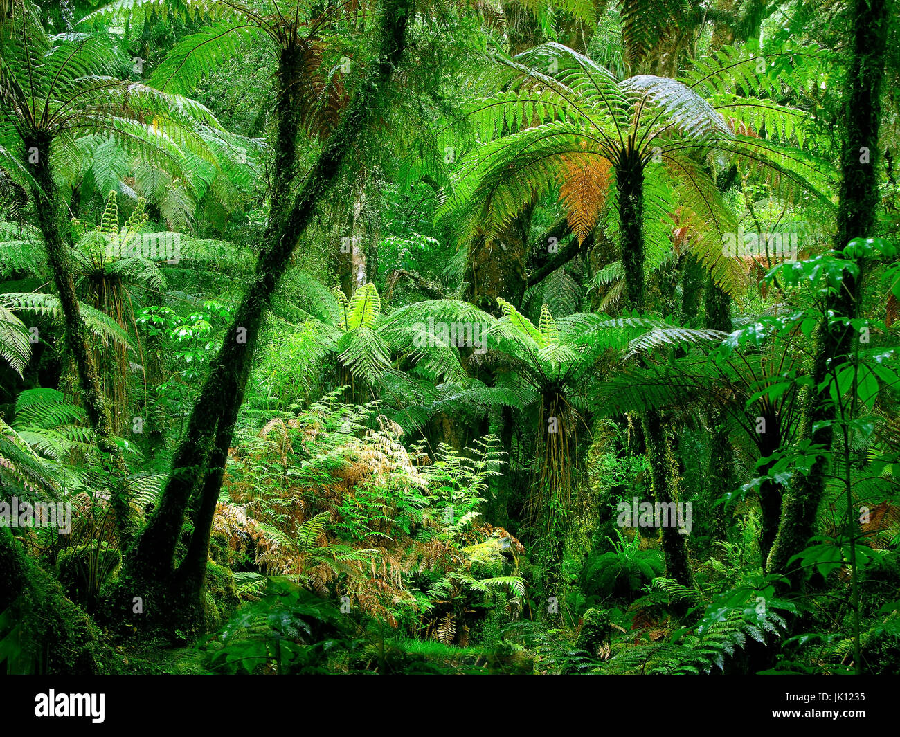 New Zealand, gigantic ferns in the rain forest, Paparoa national park,, Neuseeland, Riesenfarne im Regenwald, Paparoa Stock Photo