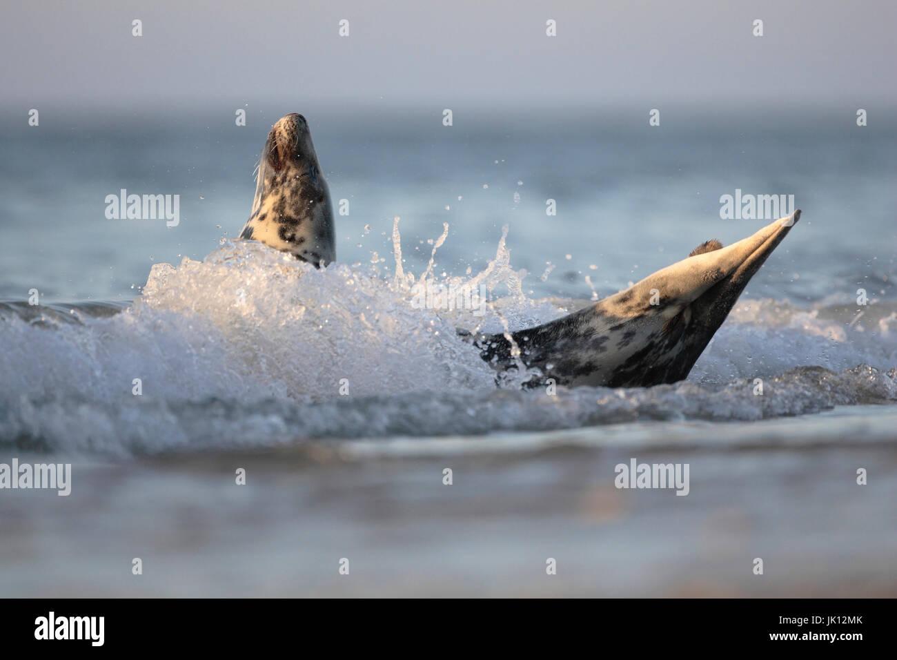 Cone seal halichoerus grypus, Kegelrobbe (halichoerus grypus) - Stock Image