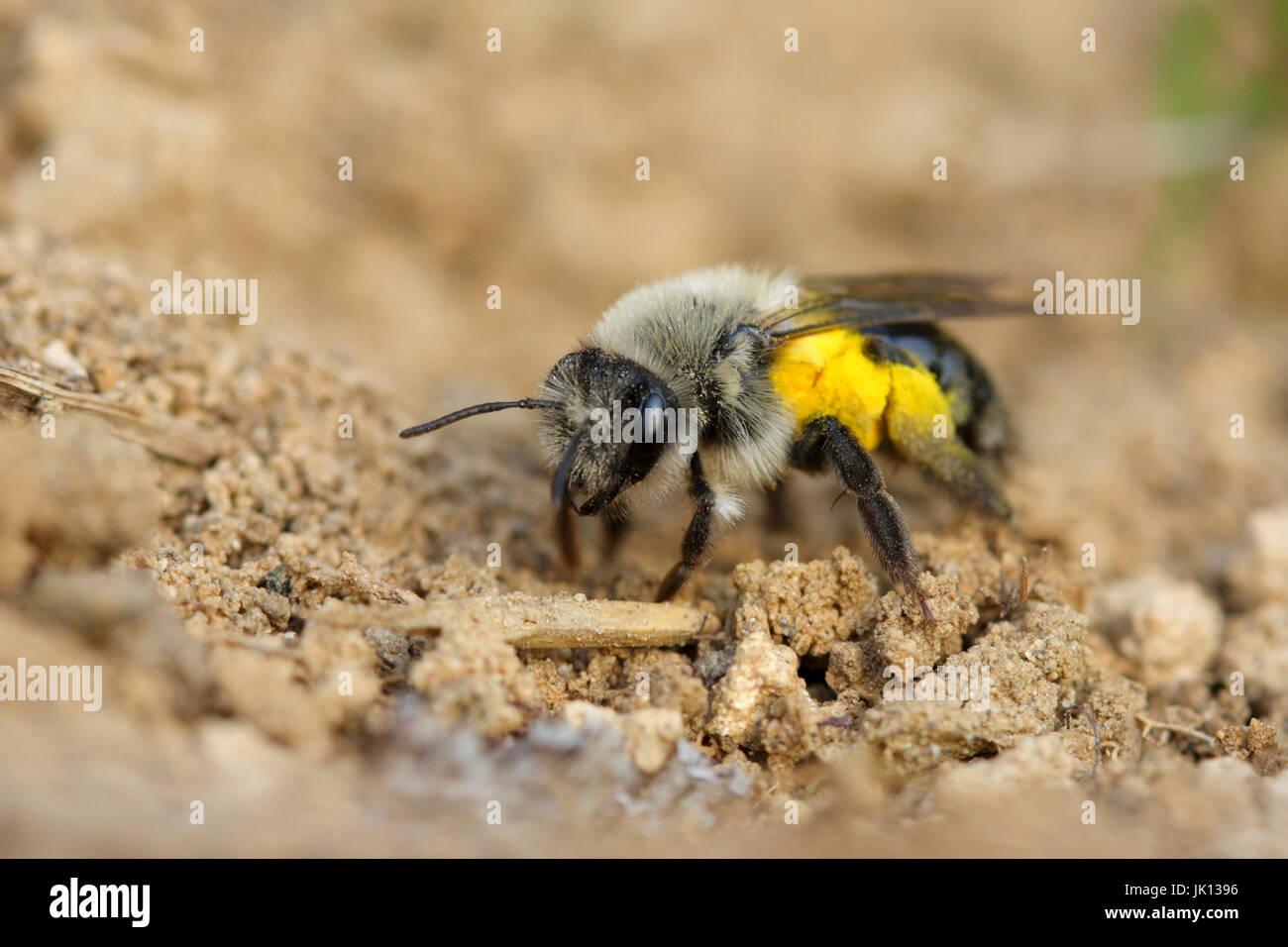 Sandy bee regeandrena vaga, Sandbiene (regeandrena vaga) - Stock Image