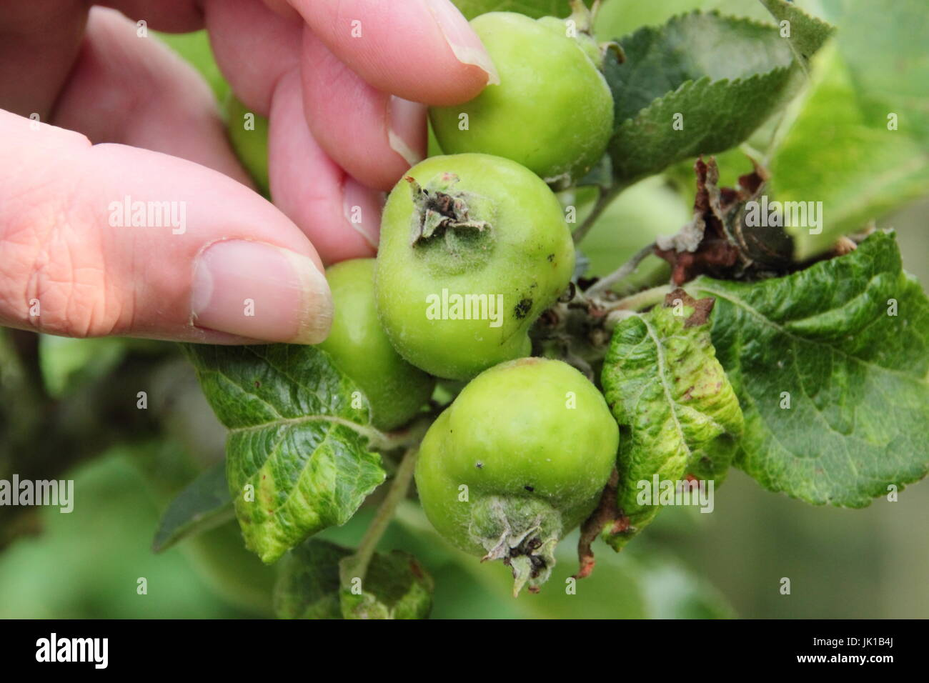 Gardener thinning young Bramley Seedling apples (malus domestica) in summer to encourage good size, healthy fruits, - Stock Image