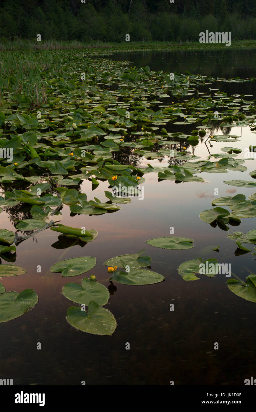 Cow lilies on Round Lake, Round Lake State Park, Idaho - Stock Image