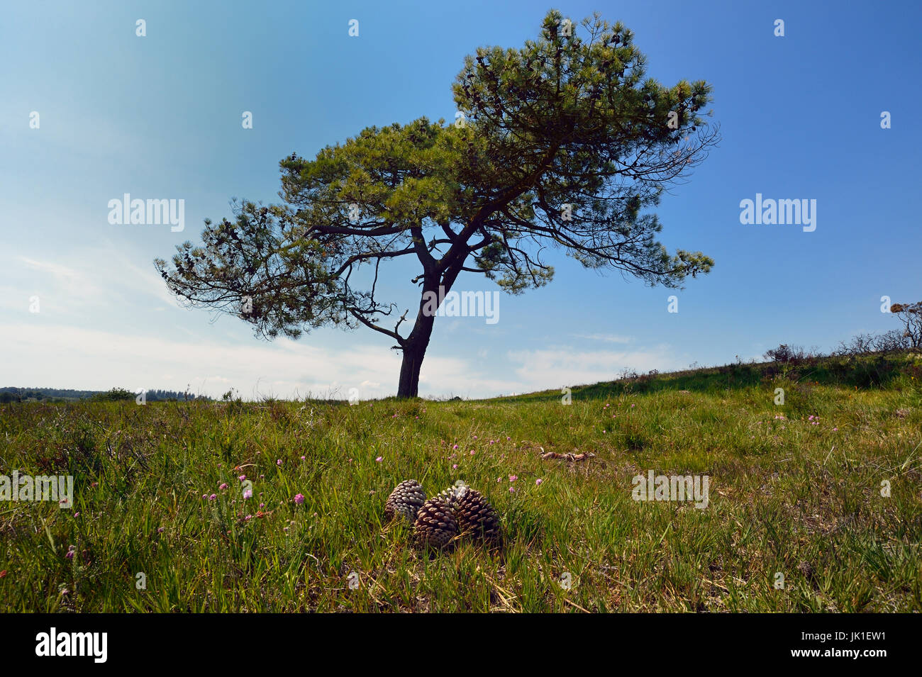 Giant pine cones lie under a Pine tree - Stock Image