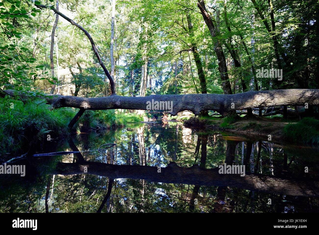Black Water stream runs through the Rhinefield Ornamental Drive in the New Forest - Stock Image