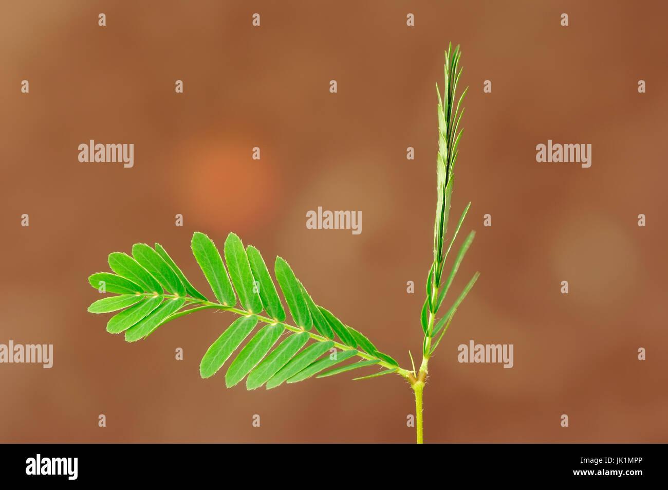 Sensitive Plant, leaves / (Mimosa pudica) | Mimose, Blaetter / (Mimosa pudica) / Schamhafte Sinnpflanze, Ruehr-mich - Stock Image