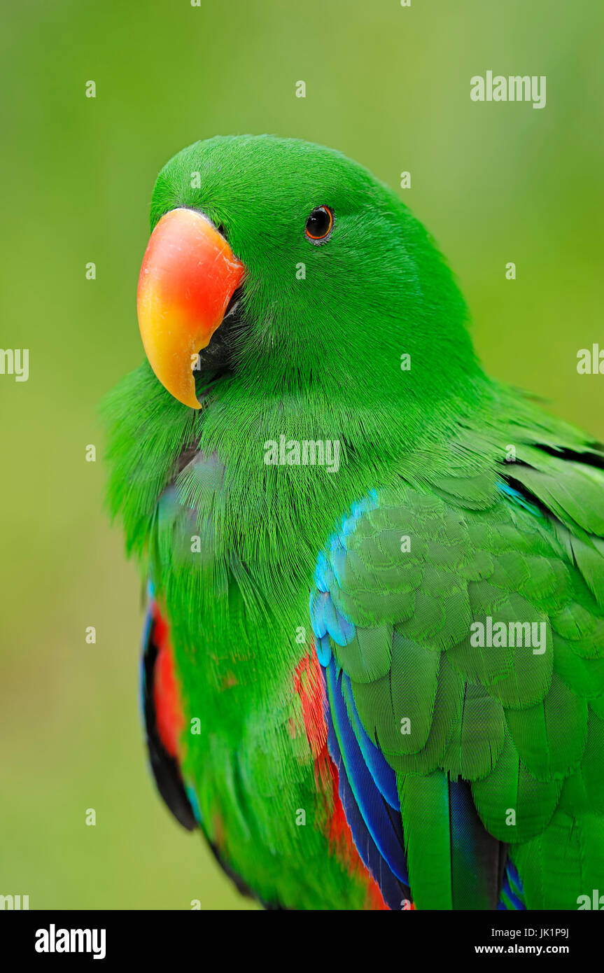 New Guinea Red-sided Eclectus Parrot, male / (Eclectus roratus polychloros) / Red-sided Eclectus Parrot, New Guinea - Stock Image