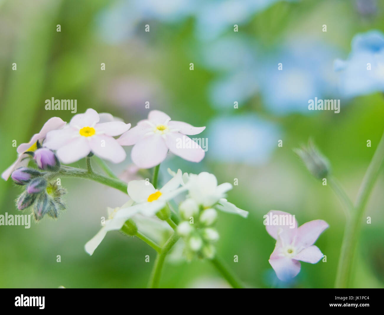 Flowers Forget Me Nots Blue And Pink As A Concept Of Boy And Girl