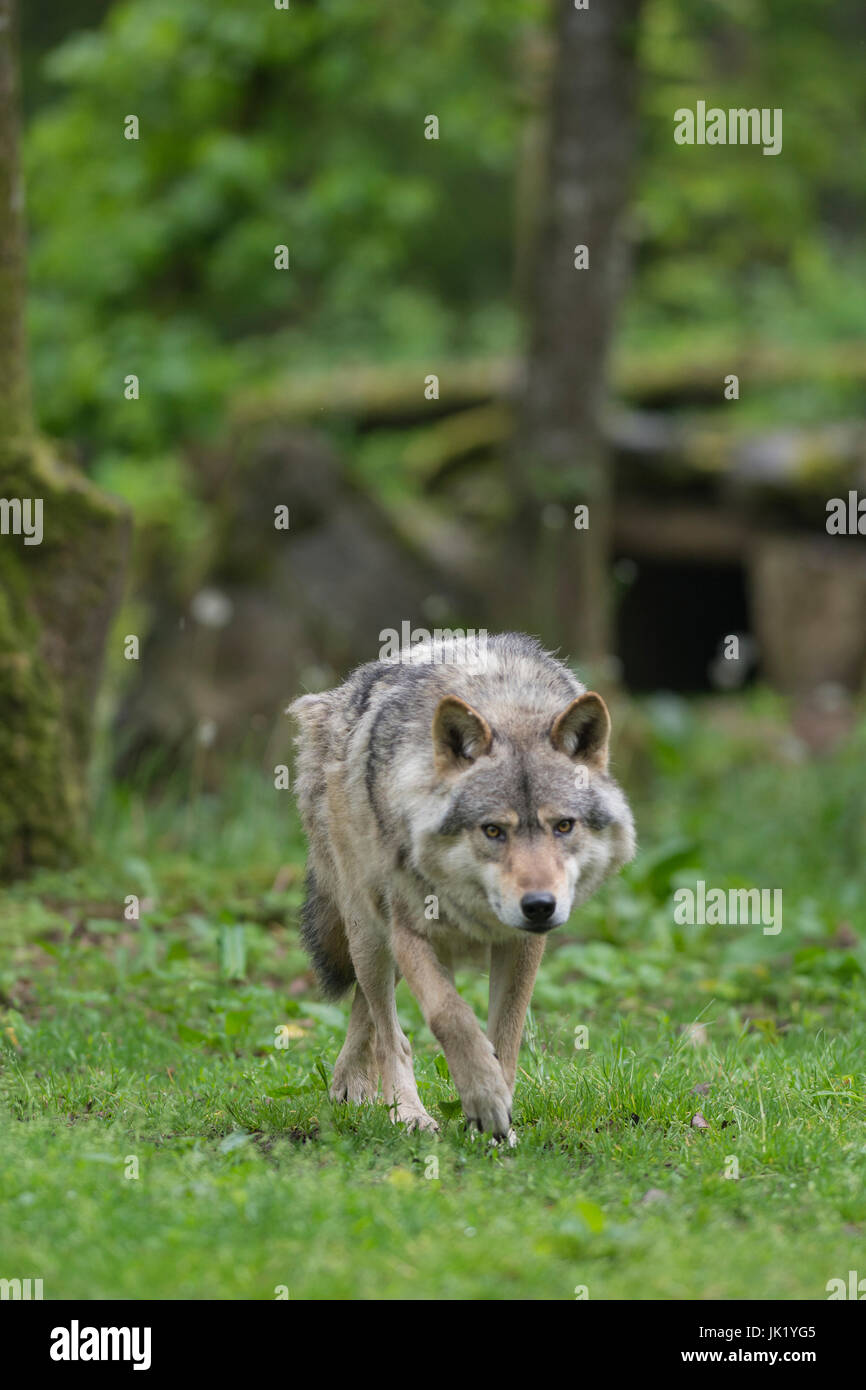 wolf in the forest - Stock Image