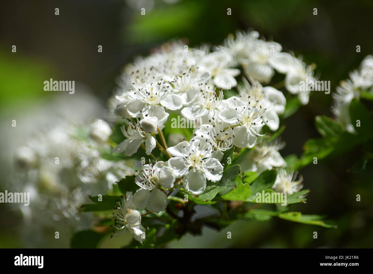 White flowered bush backgrounds stock photo 149406746 alamy white flowered bush backgrounds mightylinksfo