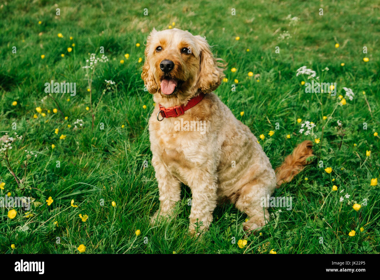 Happy Cockapoo dog Stock Photo