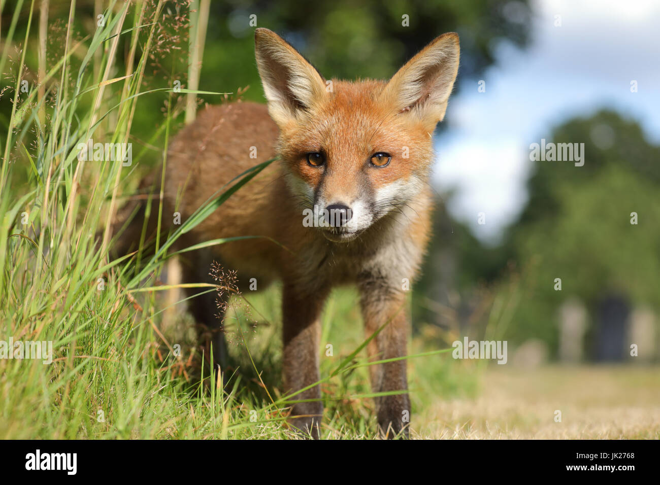 Fox cub close encounter - Stock Image
