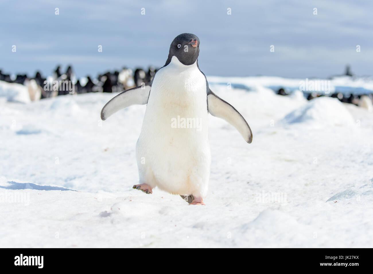 Adelie penguin in Antarctica walking towards the camera - Stock Image
