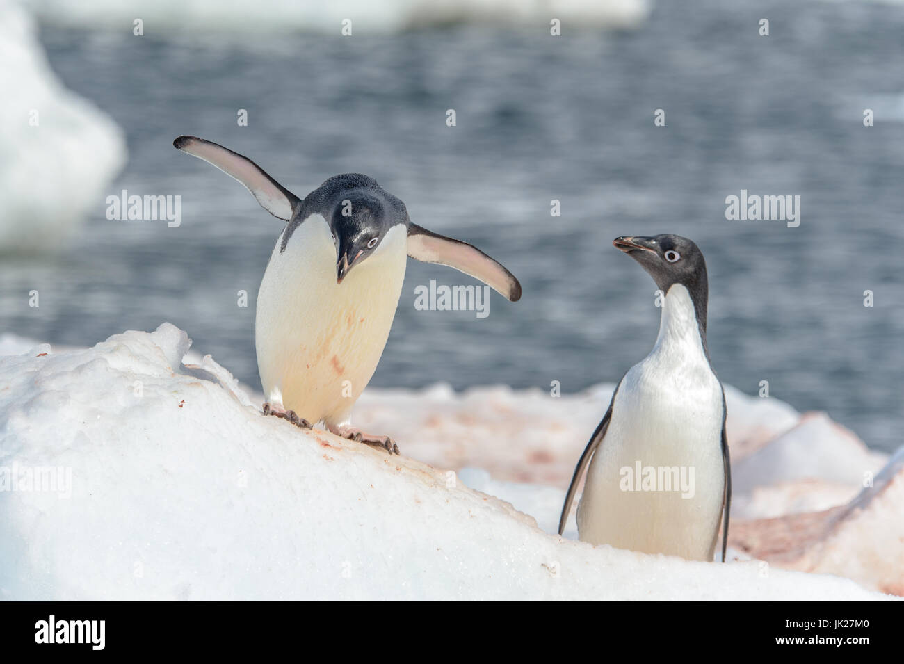 A pair of Adelie penguins on the ice in Antarctica - Stock Image