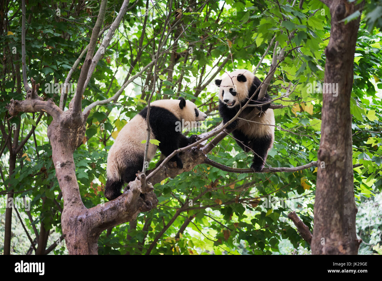 Two giant panda cubs playing in a tree - Stock Image