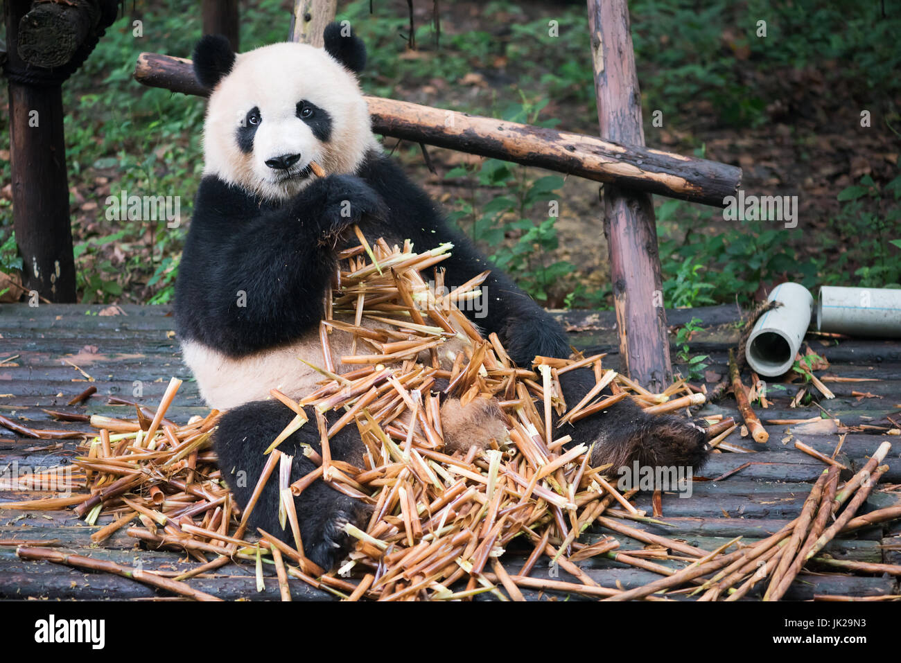 Giant panda sitting on wood and eatin a lot of bamboo, Chengdu, Sichuan Province, China - Stock Image