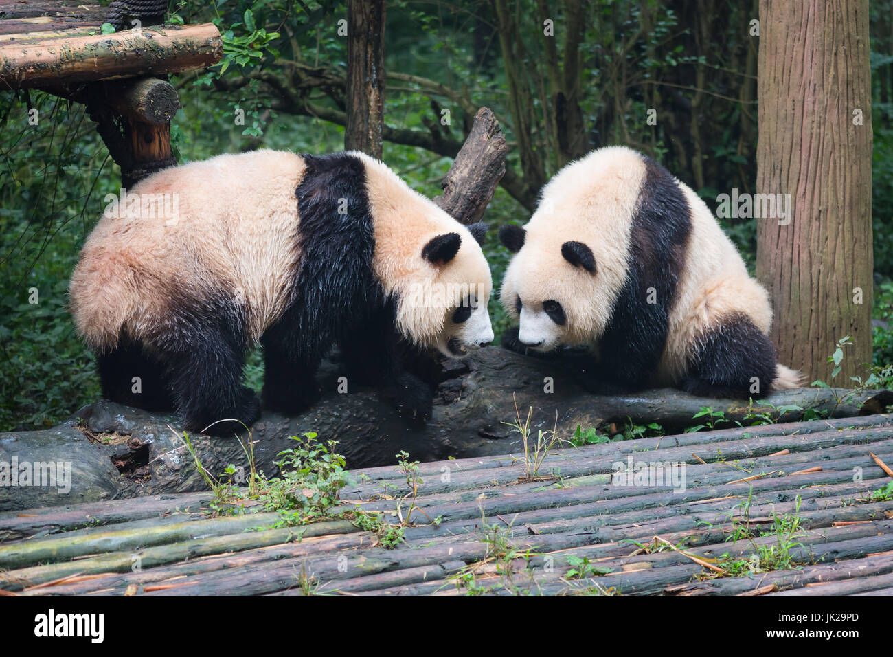 two giant panda cubs looking at each other, Chengdu, Sichuan Province, China - Stock Image