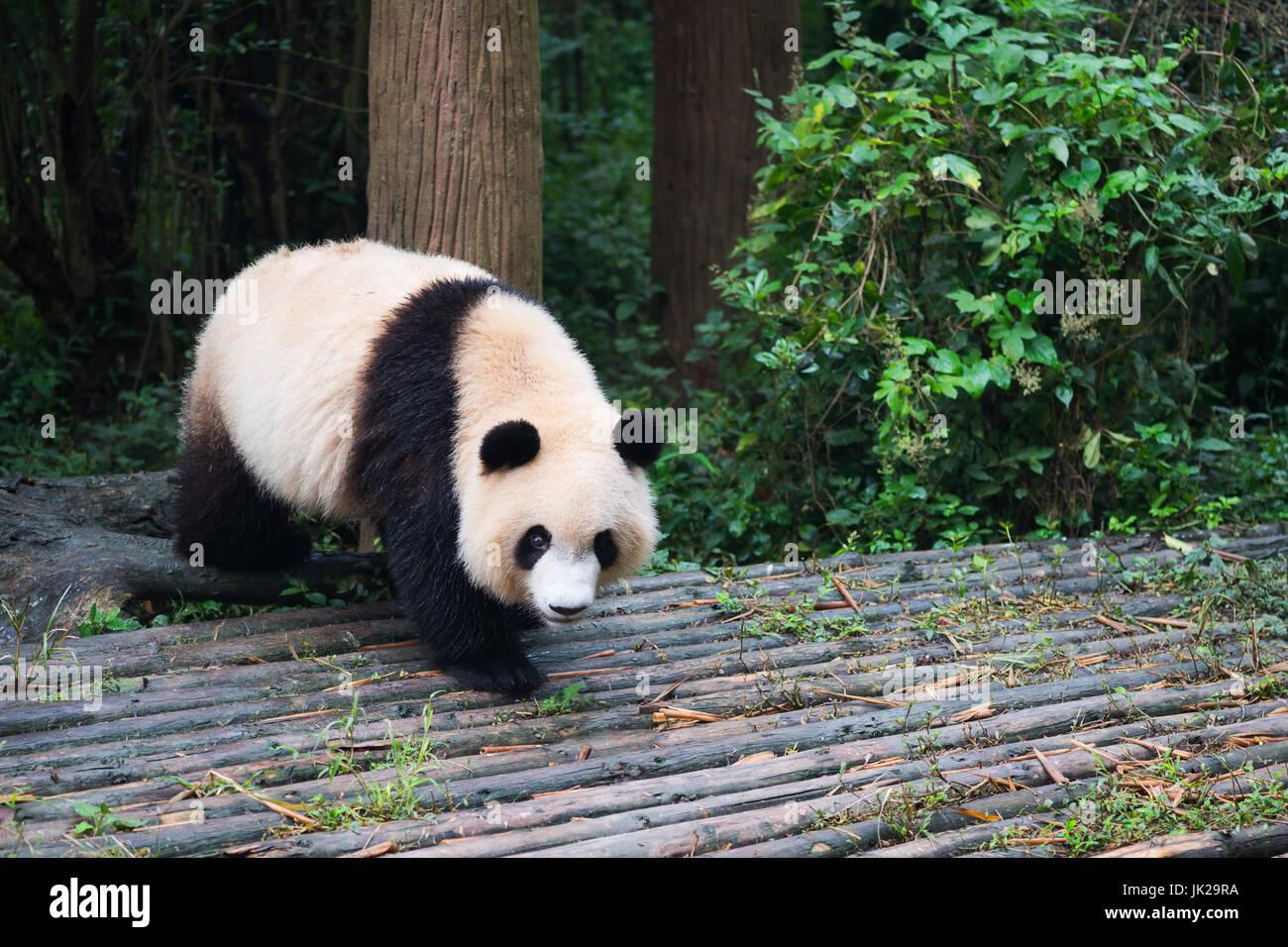 Giant panda cub walking on wood, Chengdu, Sichuan Province, China - Stock Image