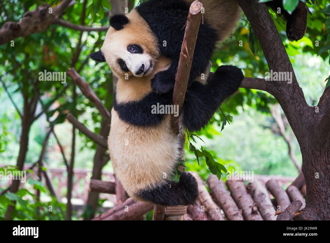 Two giant panda cubs playing together in a tree, Chengdu, Sichuan Province, China Stock Photo