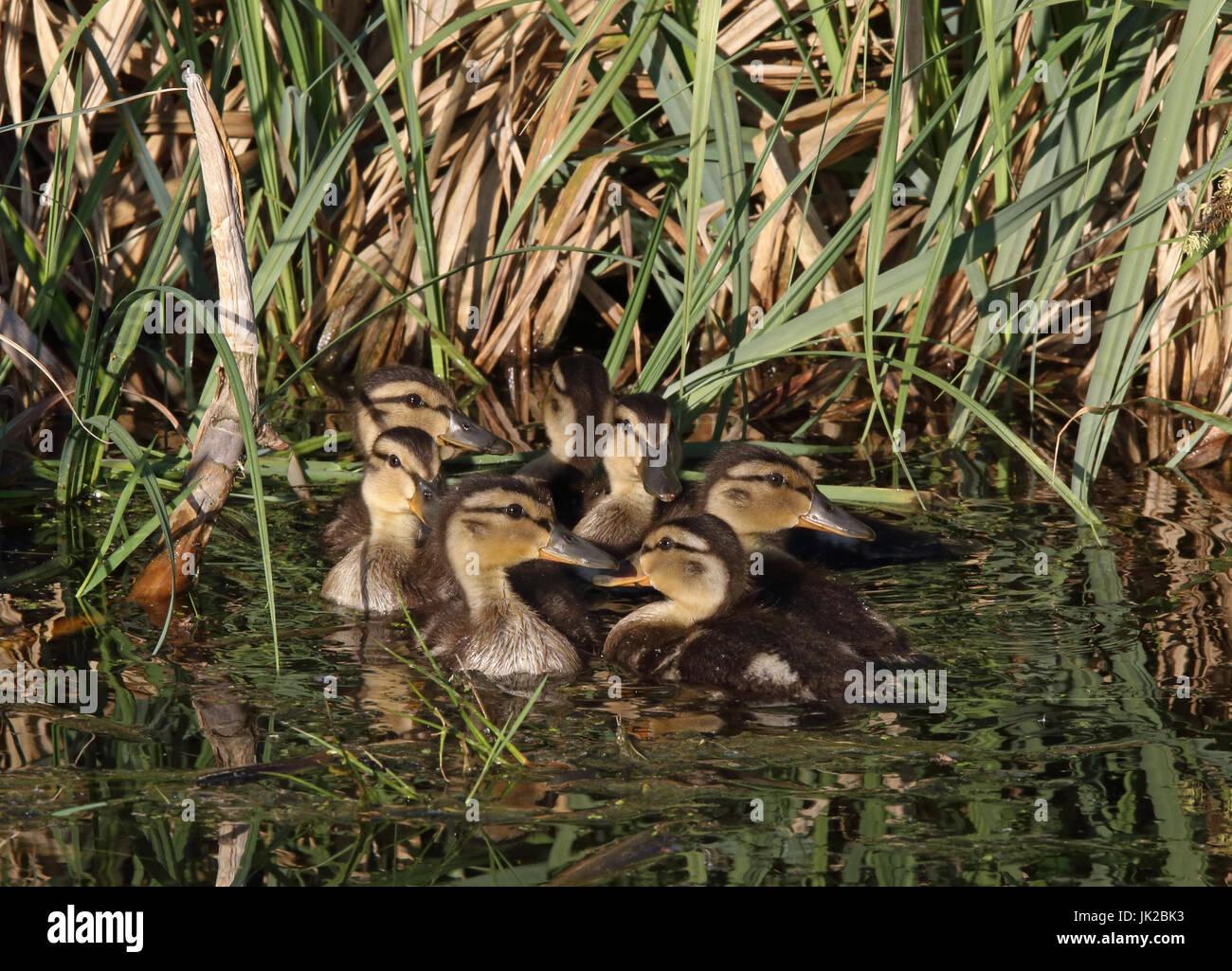Mallard Ducklings (Anas platyrhynchos) - Stock Image