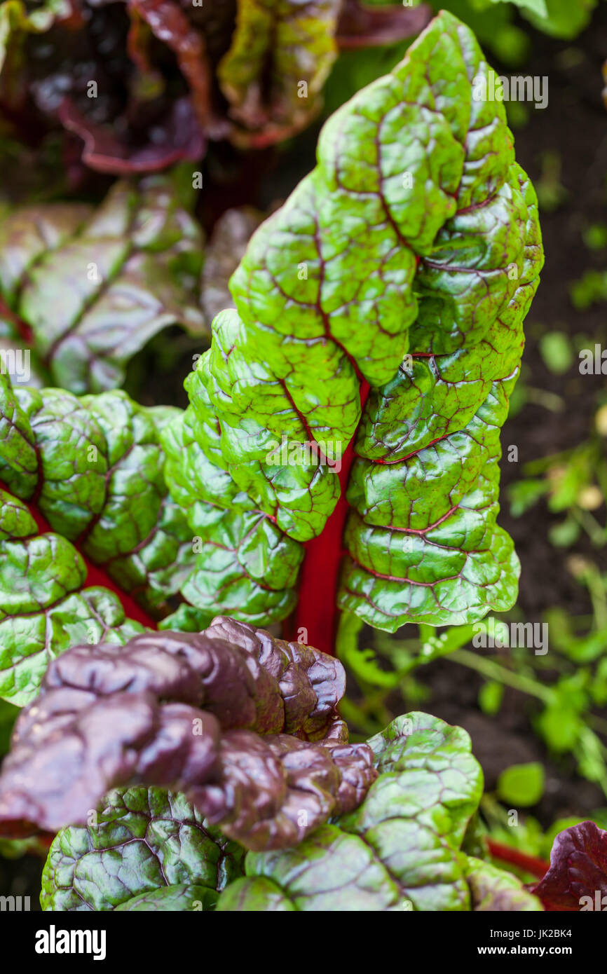 Red stem chard (Beta vulgaris subsp. Vulgaris) at organic cultivation field - Stock Image