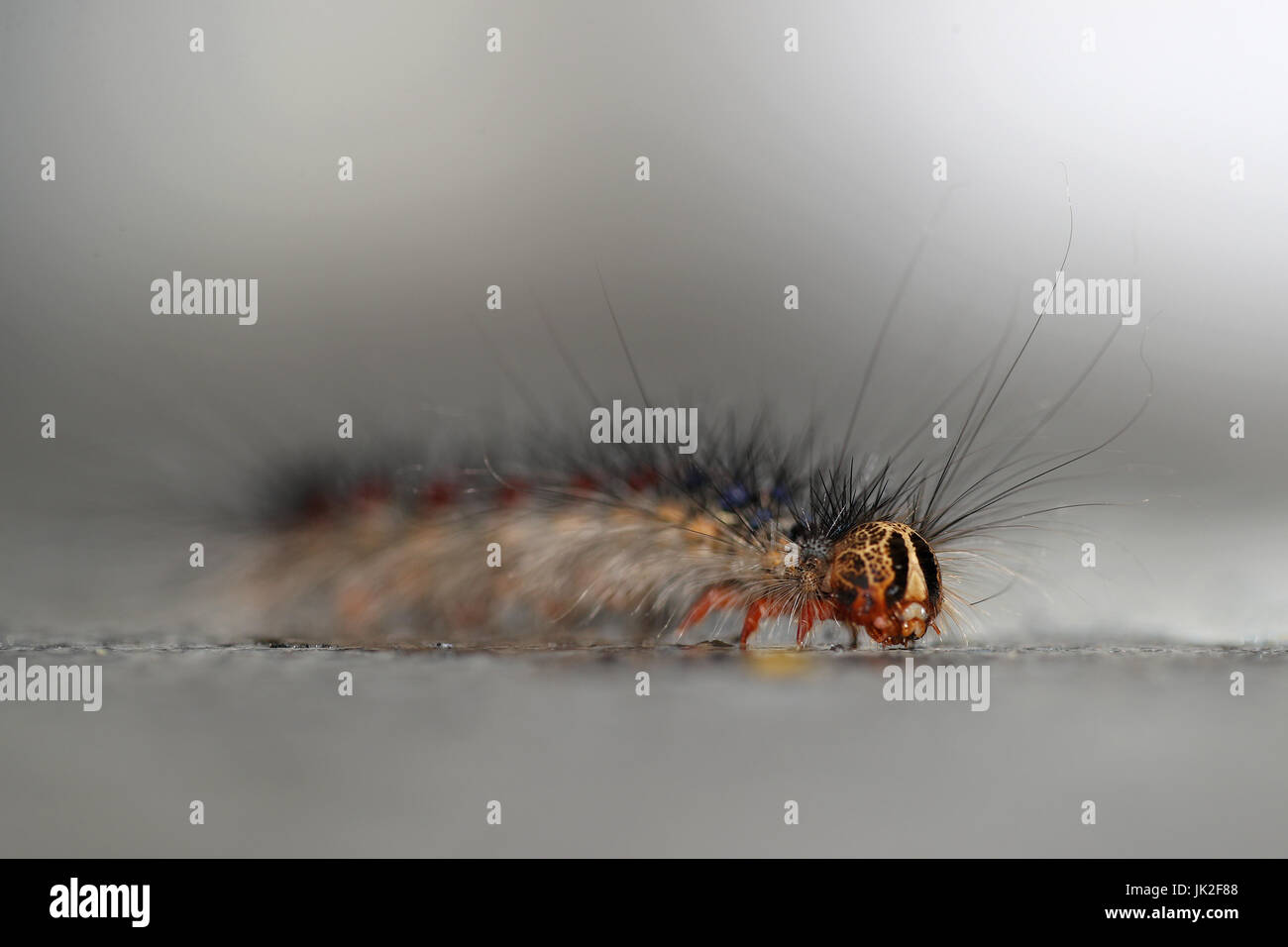 Gypsy moth, Lymantria Dispar, in its caterpillar state: one of the most destructive pests of hardwood trees - Stock Image