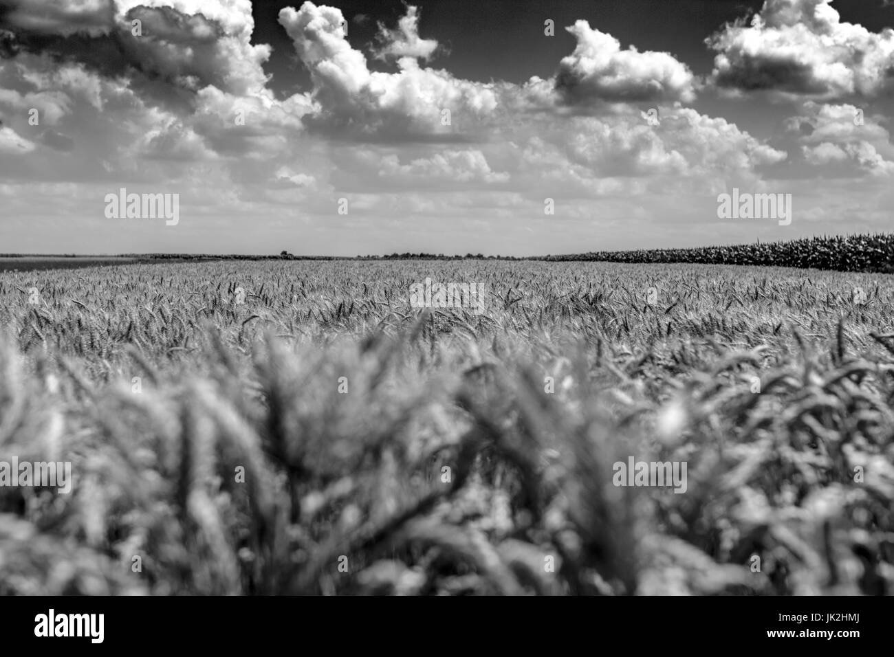 Wheat field on a sunny day with occasional clouds - Stock Image