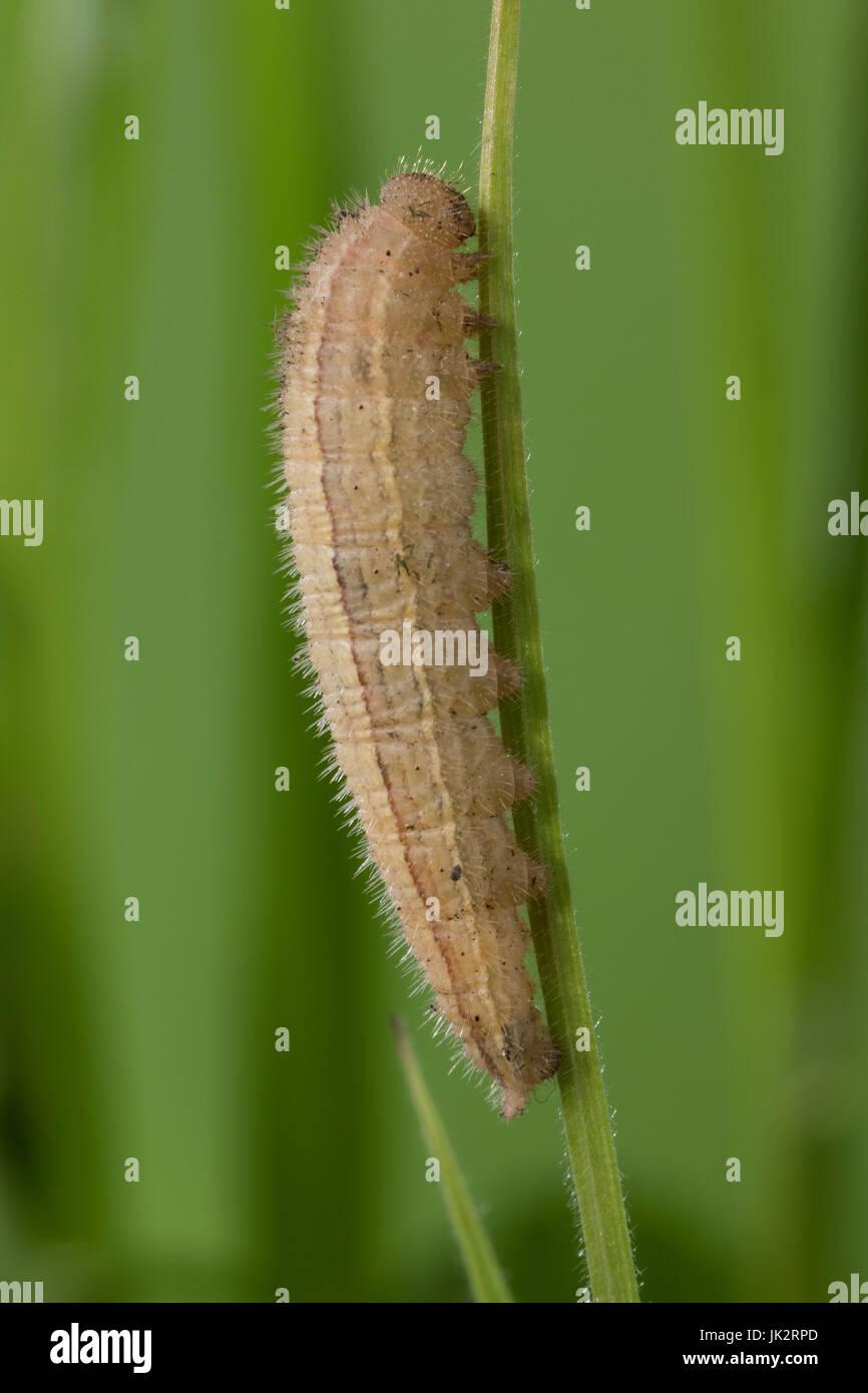Schachbrett, Raupe frisst an Gras, Schachbrett-Falter, Schachbrettfalter, Damenbrett, Melanargia galathea, marbled - Stock Image