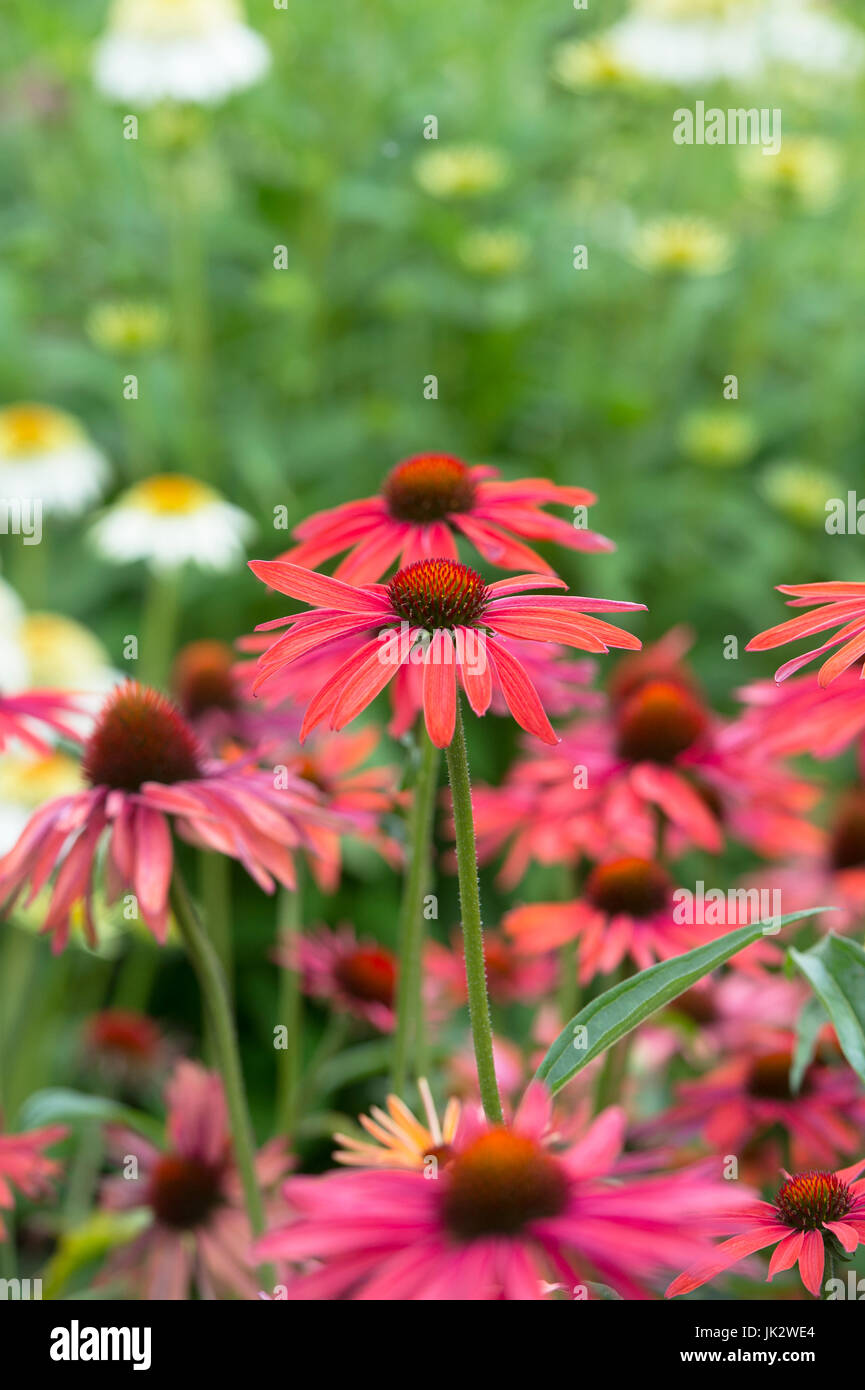 Echinacea 'Hot summer'. Coneflowers - Stock Image