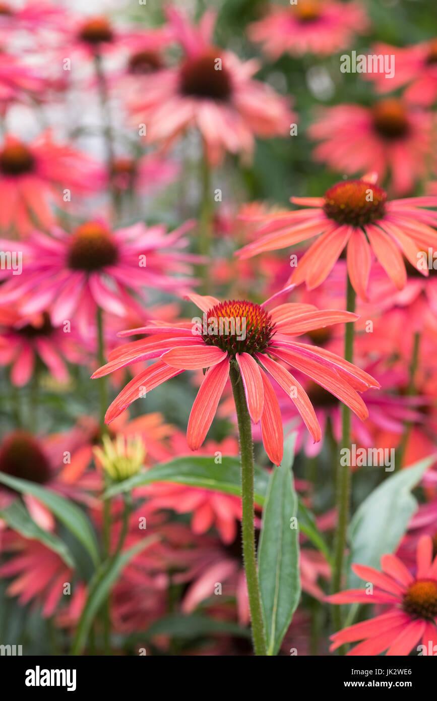 Echinacea 'Hot summer'. Coneflowers - Stock Image
