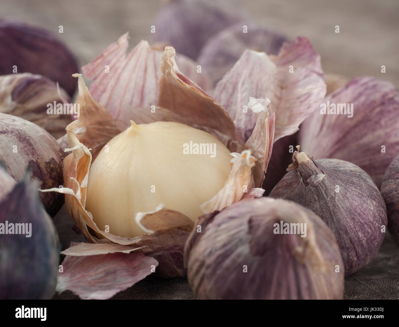still life fine art of Single Bulb form of Elephant Garlic on wooden background - Stock Image