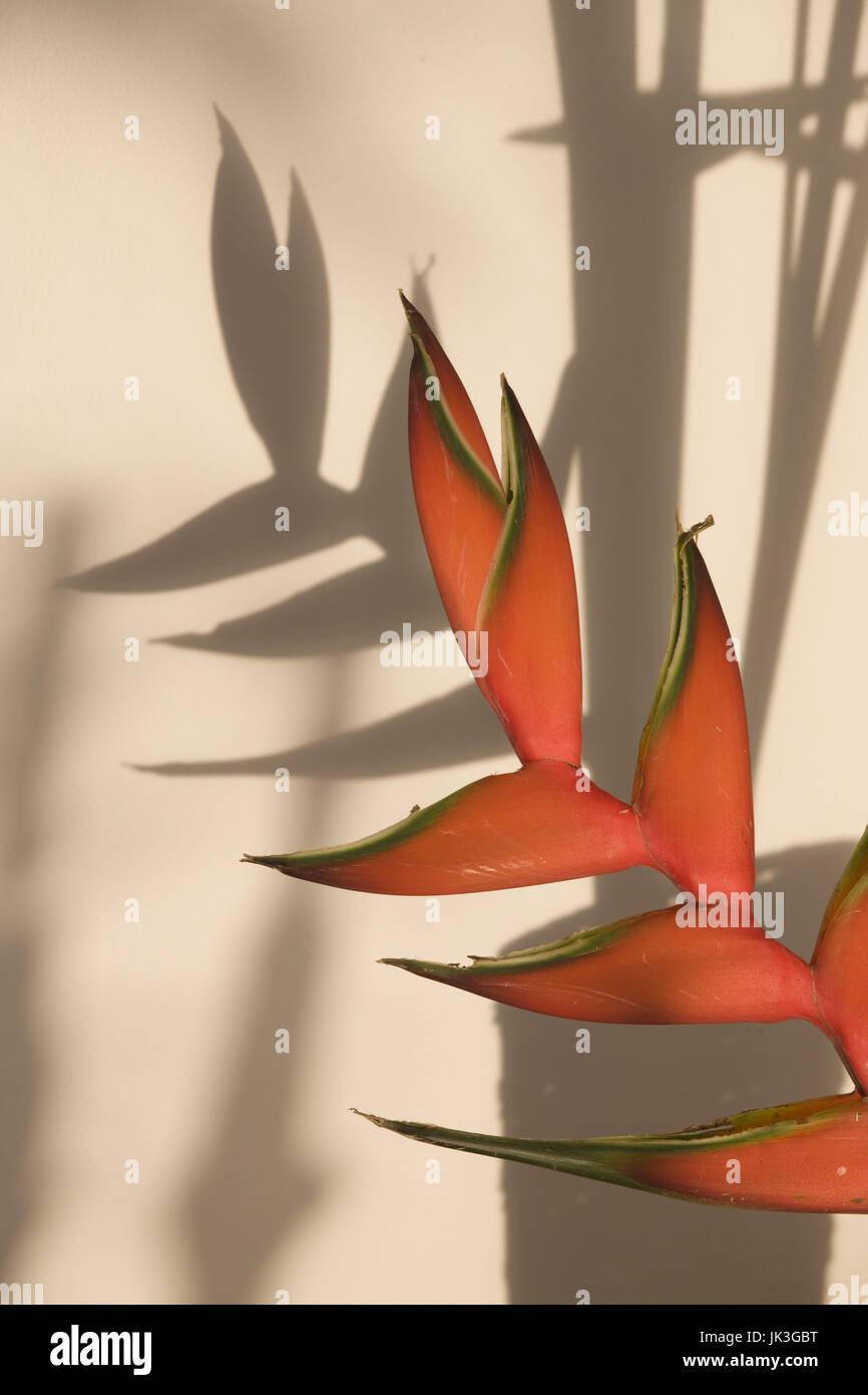 Seychelles, Mahe Island, Anse Royale, Heliconia Flowers, heliconia bihai - Stock Image