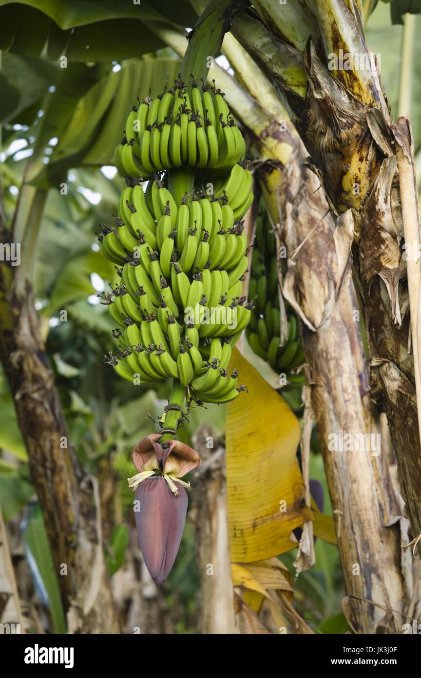 Australia, Queensland, North Coast, Babinda, Detail of Banana Plant, Stock Photo