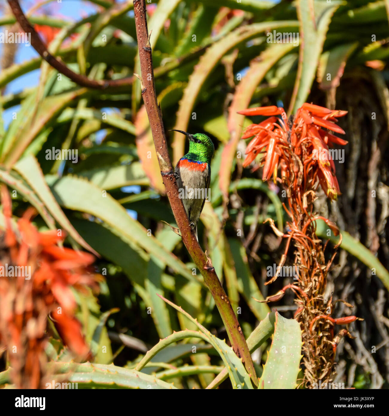 A male Double-collared Sunbird perched on an aloe plant in Southern Africa - Stock Image