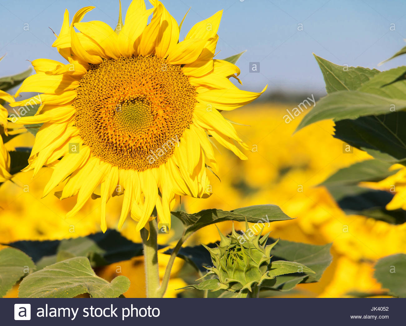 Sunflowers provence france sunflower blooms circular flower sunflowers provence france sunflower blooms circular flower concept sunflower close up colour flowers flower photography beautiful flowers izmirmasajfo