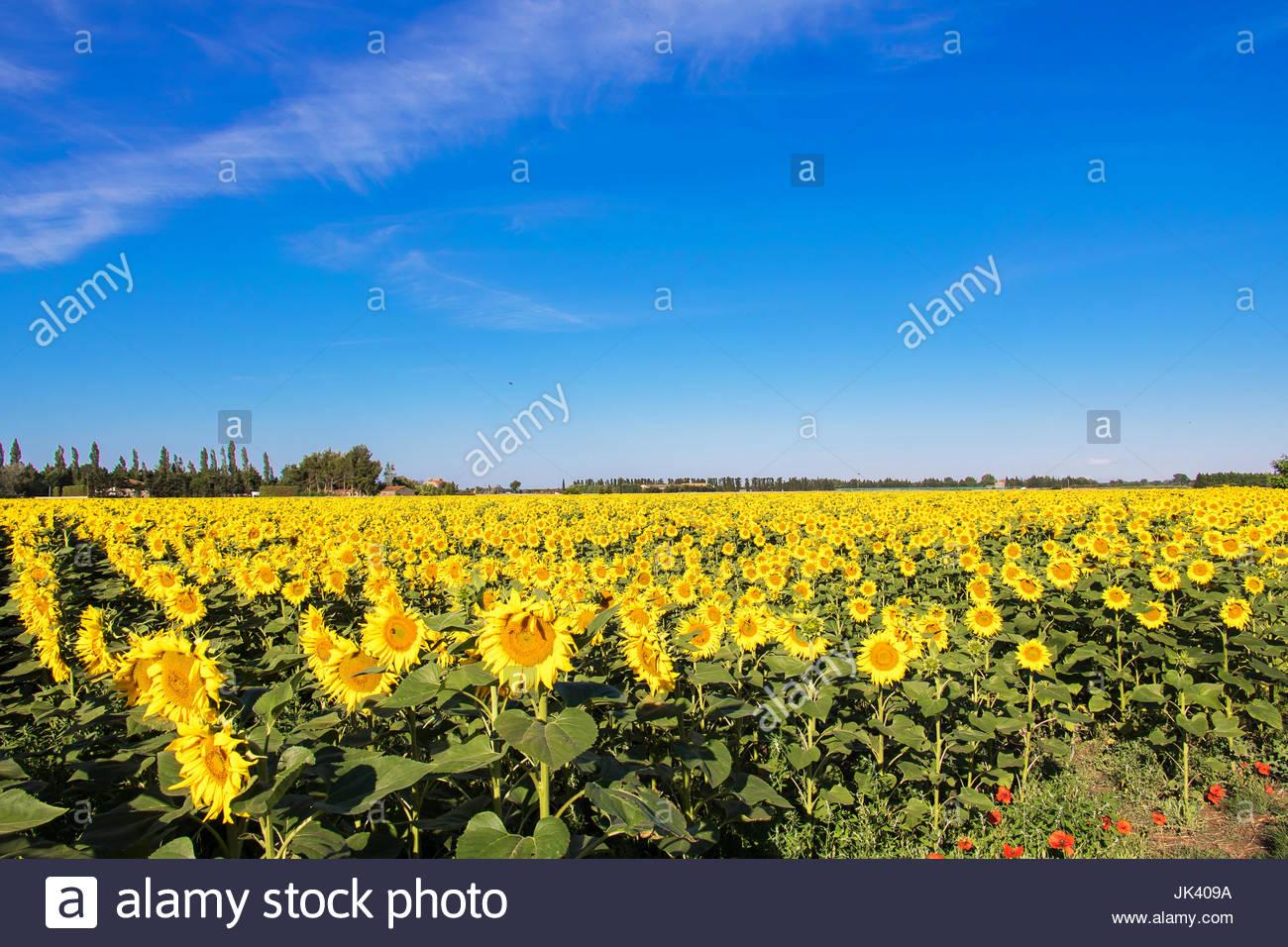 Sunflowers Provence France Sunflower Landscape Flowers With Sunlight  Beautiful Sunflower Blooms Sunflower Against Sky Giant Sunflower Field Sun