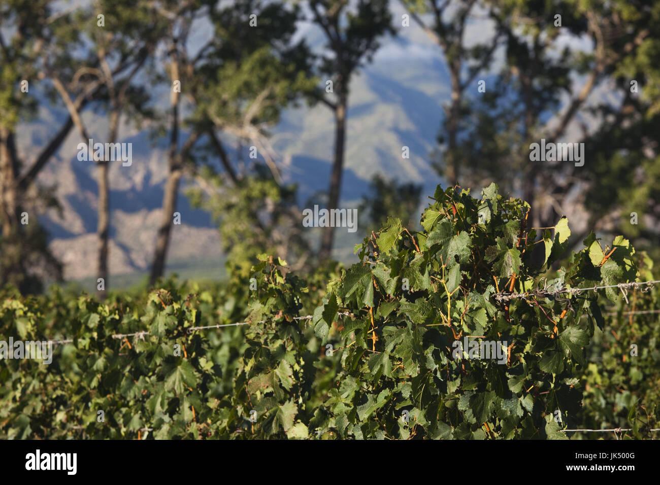 Argentina, Salta Province, Valles Calchaquies, Cafayate, vineyard view, morning - Stock Image