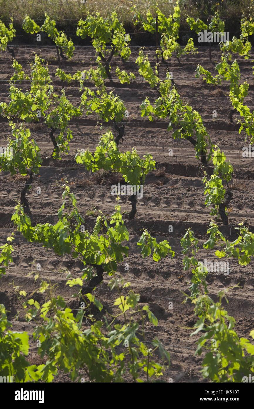 Italy, Sardinia, Northern Sardinia, Badesi, Vineyard - Stock Image