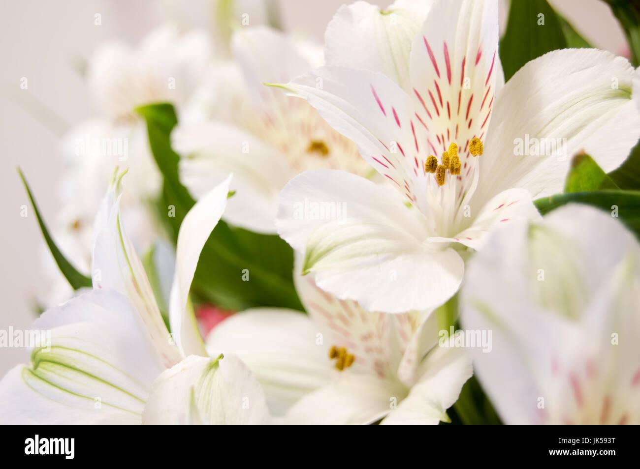 White alstroemeria stock photos white alstroemeria stock images an white alstroemeria flower on a white background stock image mightylinksfo