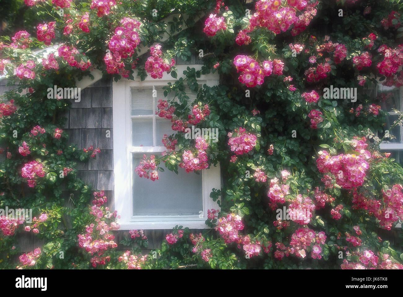 Haus, Detail, Fenster, Heckenrosen,  Blüten  USA, Massachusetts, Nantucket Island, Amerika, Rosen, Rosengewächse, Stock Photo