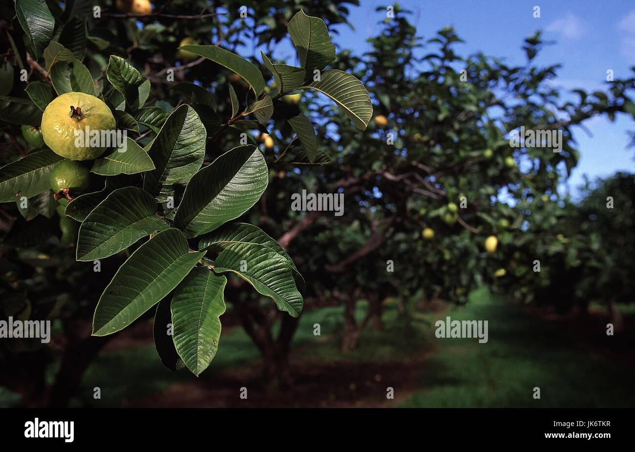 USA, Hawaii, Kauai, Kilauea,  Plantage, Anbau, Guave, Psidium guajava  Insel, Landwirtschaft, Wirtschaft, Guava - Stock Image