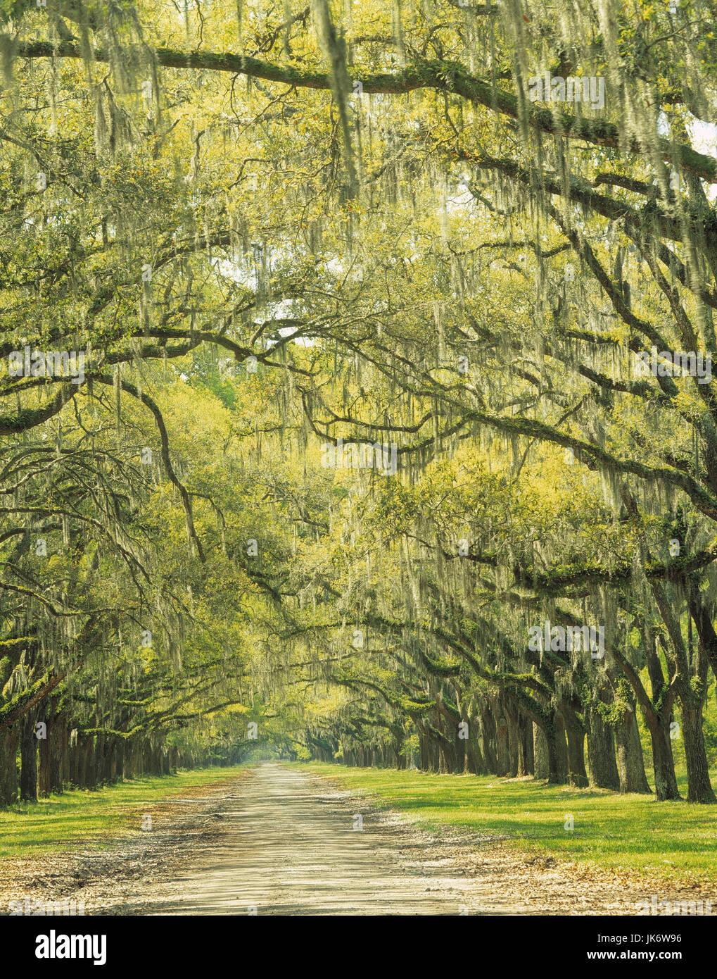 USA, Georgia, Savannah, Wormsloe  State Historic Site, Eichen, bewachsen,  spanisches Moos Vereinigte Staaten, Nordamerika, - Stock Image