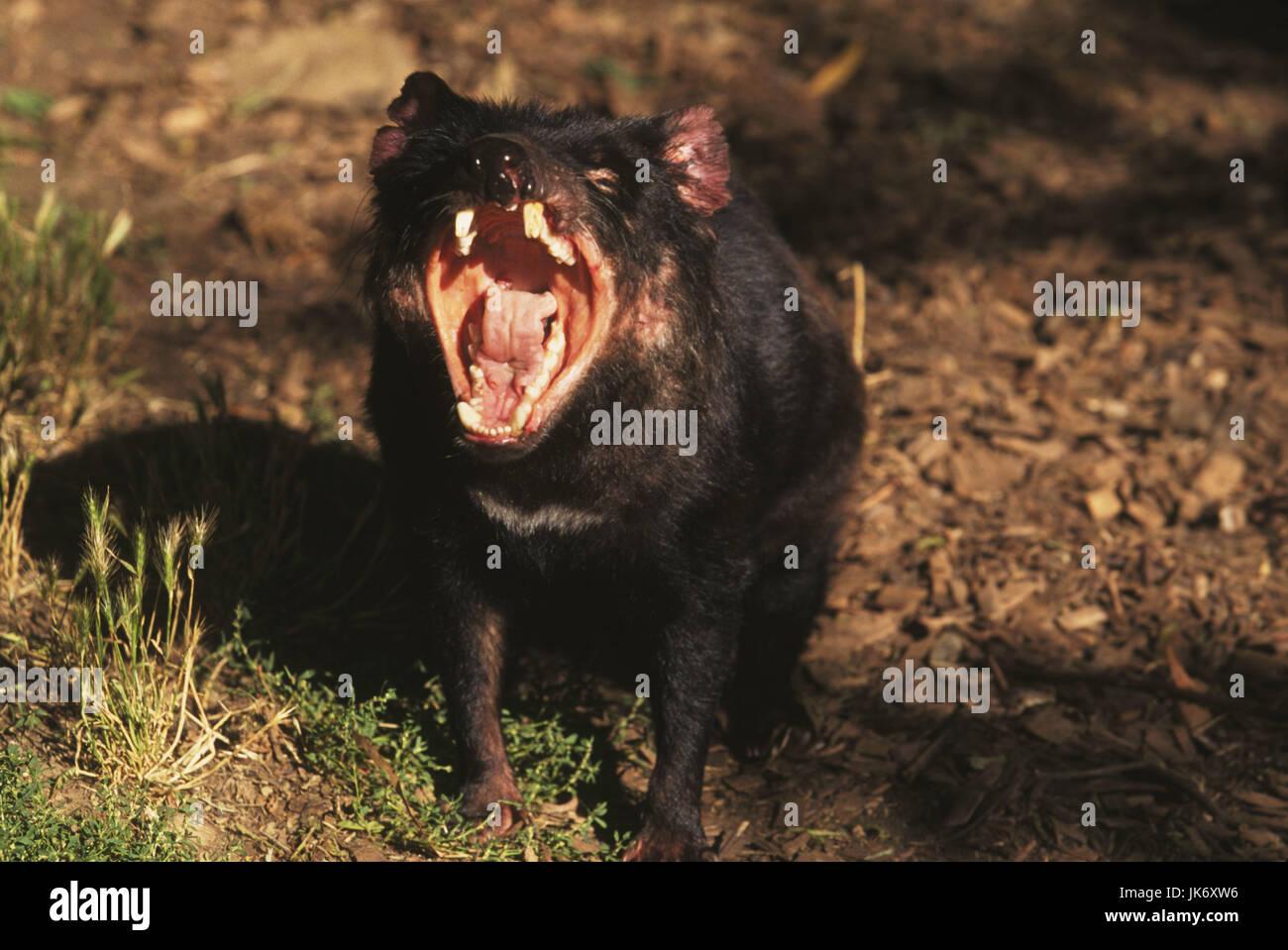 Australien, Tasmanien, Beutelteufel, Sacrophilus harrisi, gähnen  Tasmania, Insel Tasmanien, Natur, Tierwelt, - Stock Image