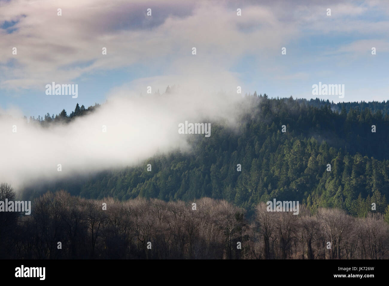USA, California, Northern California, North Coast, Miranda, morning mist on the Avenue of the Giants, Humbolt Redwoods - Stock Image